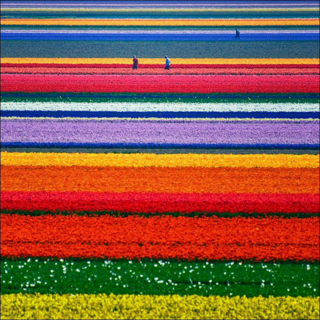Tulip Farms, Netherlands